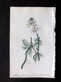 Hogg & Johnson 1864 Hand Col Botanical Print. Common Water Violet